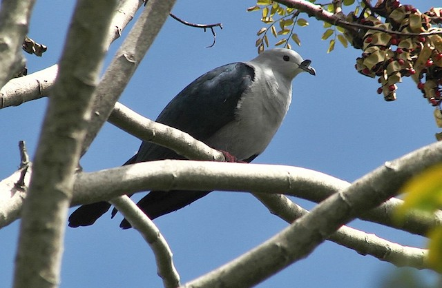 Polynesian Imperial-Pigeon