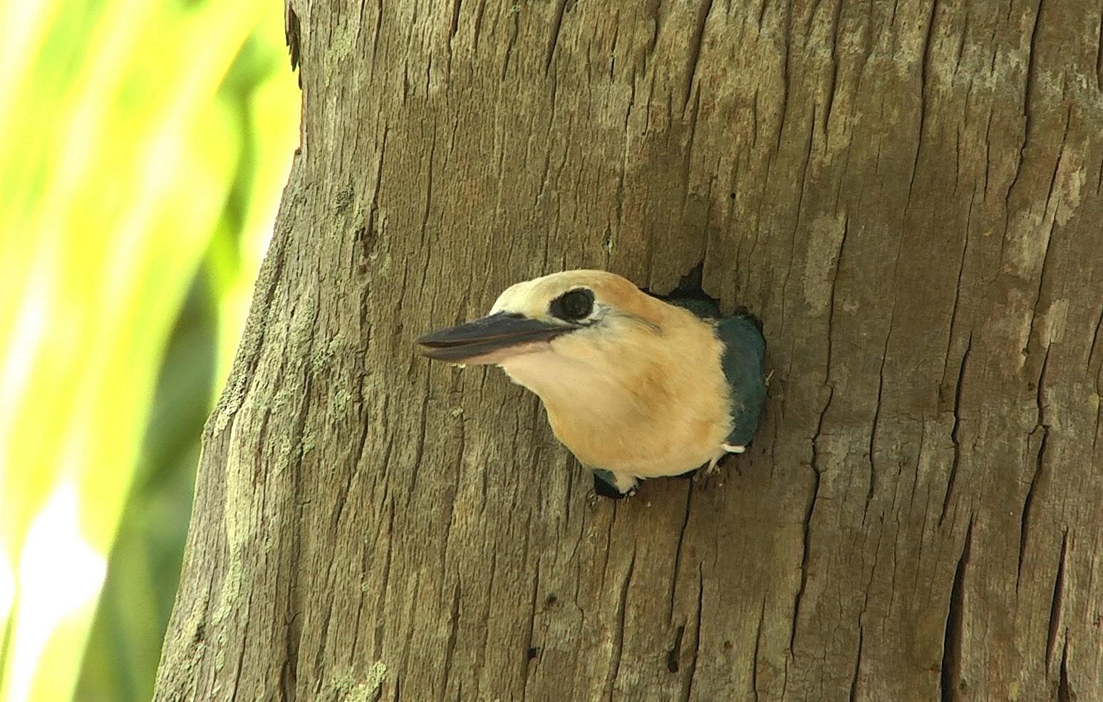 Niau Kingfisher - Josep del Hoyo
