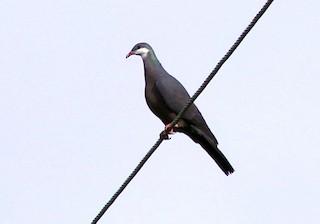 Metallic Pigeon (Metallic)