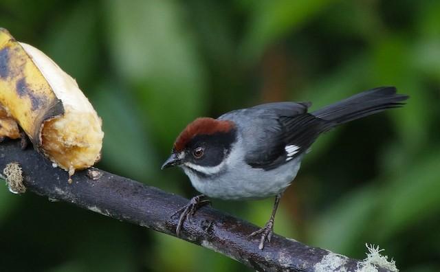 Slaty Brushfinch (Slaty)