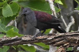- Marquesas Ground Dove