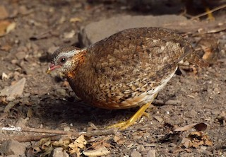 Scaly-breasted Partridge (Green-legged)