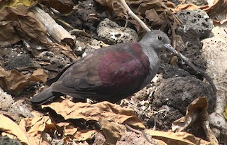 - Marquesas Ground Dove