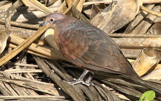- Polynesian Ground Dove
