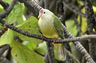 - Atoll Fruit-Dove