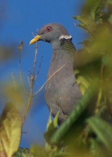 Band-tailed Pigeon (White-necked)