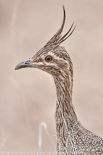 Elegant Crested-Tinamou