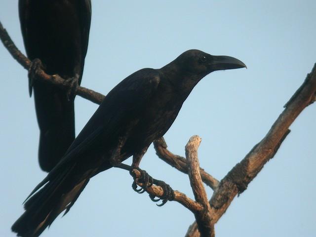 Large-billed Crow (Eastern)