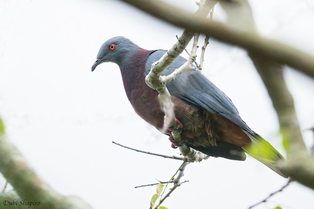 Baker's Imperial-Pigeon