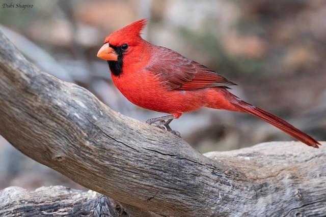 Male Northern Cardinal (presumed subspecies <em>superbus</em>).