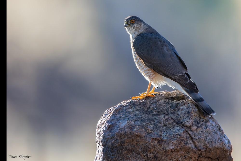 Sharp-shinned Hawk (Northern) - Dubi Shapiro