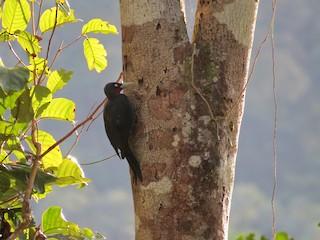 - Southern Sooty-Woodpecker