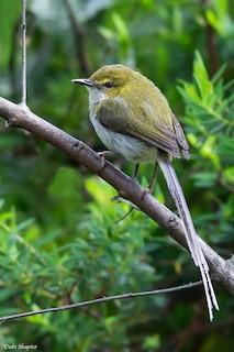 - Green Longtail (Bioko)