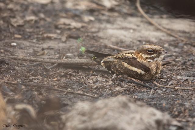 Long-tailed Nightjar
