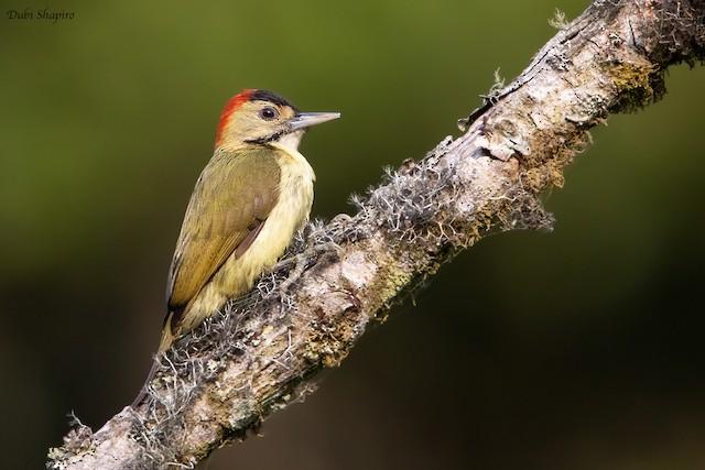 Elliot's Woodpecker (Johnston's)