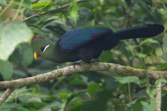 Yellow-billed Turaco (Verreaux's)