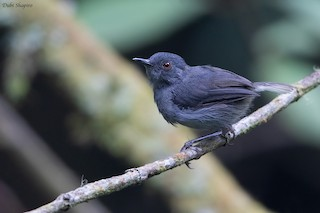 - White-tailed Warbler (Bioko)