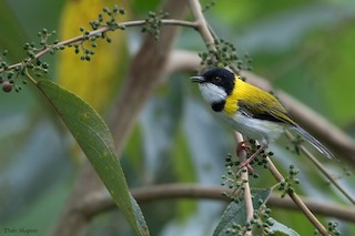- Black-capped Apalis (Black-capped)