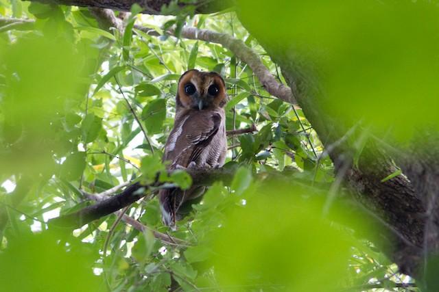 Brown Wood-Owl
