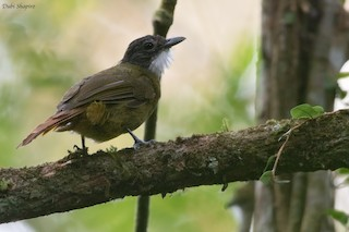 - Red-tailed Greenbul
