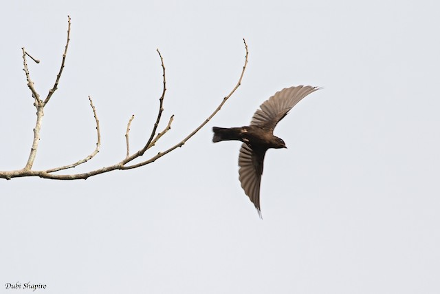 Forest Swallow
