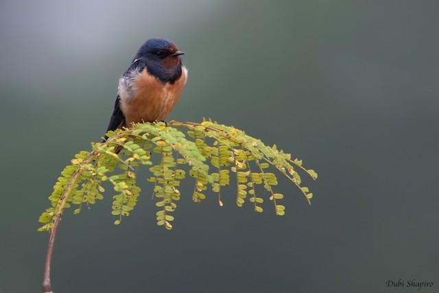 Barn Swallow (White-bellied)