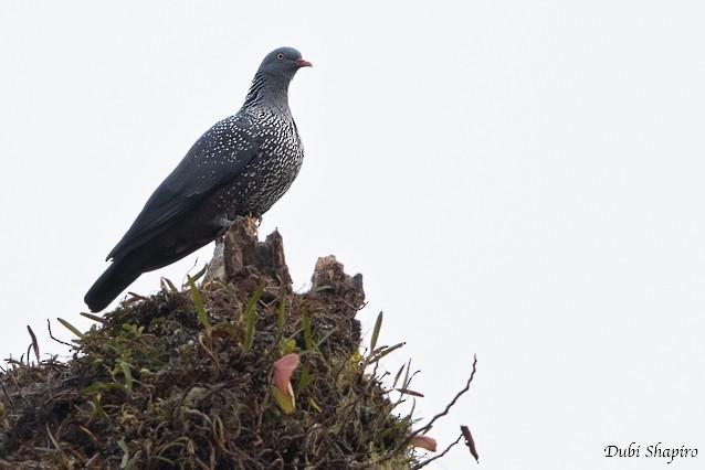 Cameroon Pigeon - Dubi Shapiro