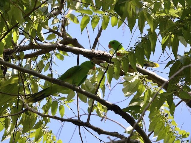 Olive-shouldered Parrot