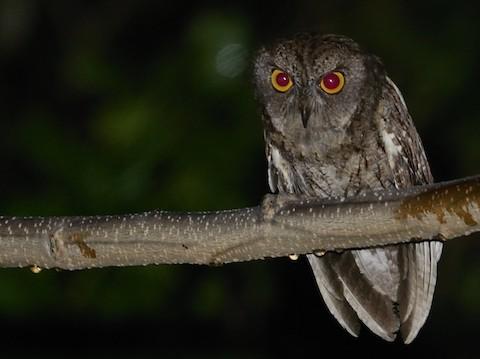 Moluccan Scops-Owl (Wetar) - Stijn Cooleman