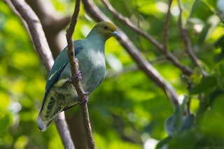 - Tanna Fruit-Dove