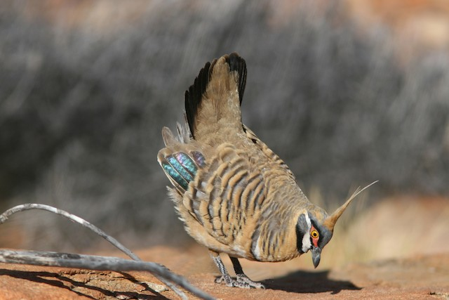 Spinifex Pigeon (White-bellied)