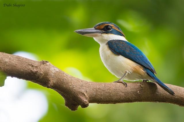 Pacific Kingfisher (Vanuatu)