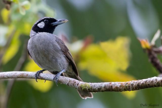 Black-throated Shrikebill