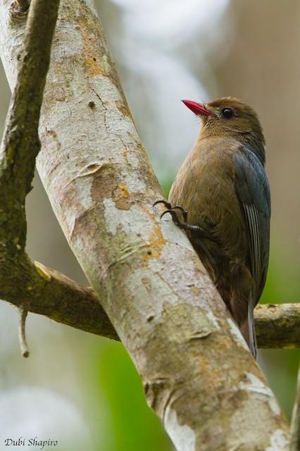 Female Nuthatch-Vanga.