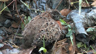 - Spotted Buttonquail