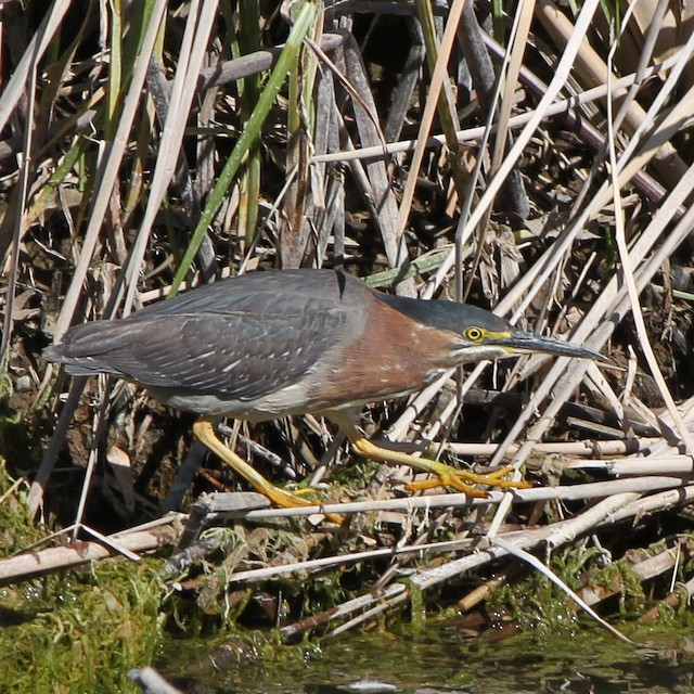 Green Heron (anthonyi)
