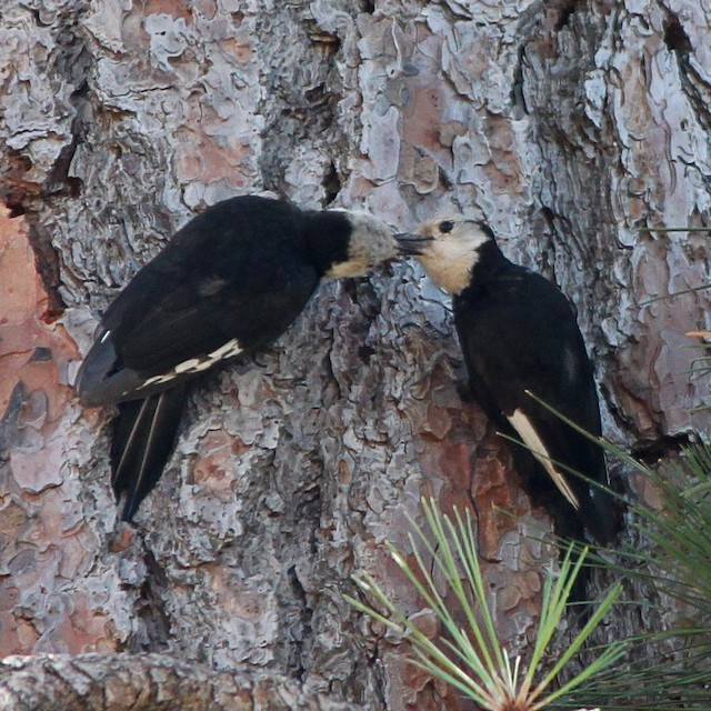 Adult White-headed Woodpecker feeding young.
