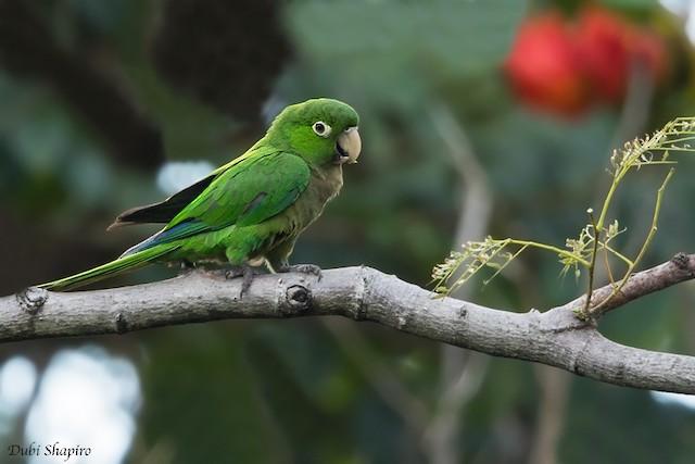 Olive-throated Parakeet (Jamaican)