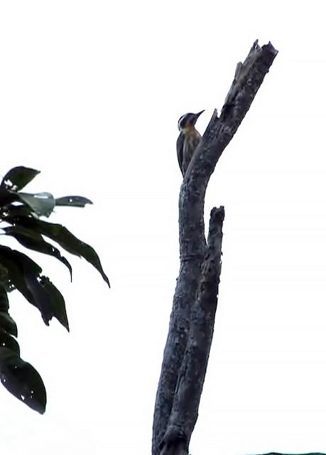 Sulu Pygmy Woodpecker