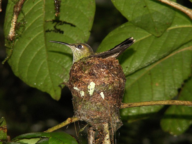 Violet-chested Hummingbird