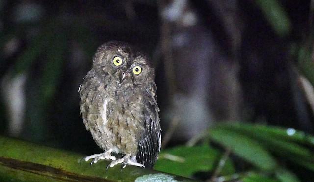 Sula Scops-Owl