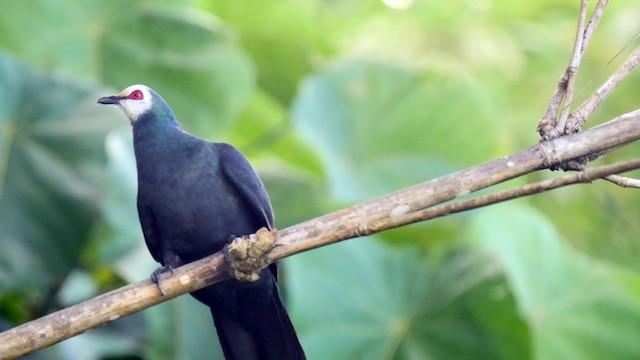 Sula Cuckoo-Dove