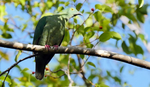 Black-naped Fruit-Dove