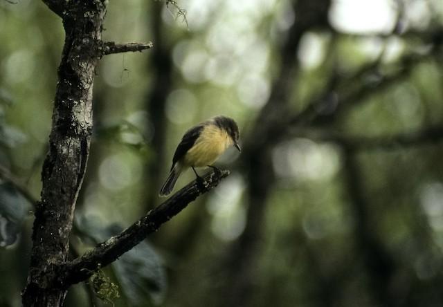 Vermilion Flycatcher (Galapagos)