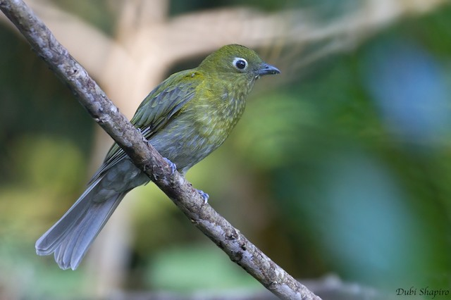 Gray-tailed Piha