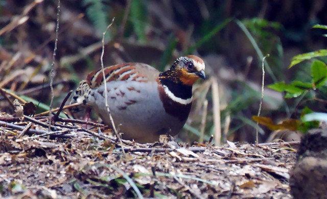 White-necklaced Partridge