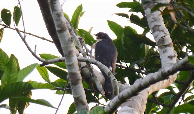 Red-thighed Sparrowhawk