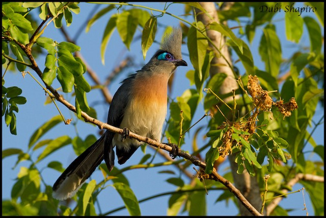 Crested Coua (Crested)