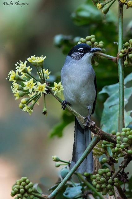 Black-headed Sibia (Lang Bian)