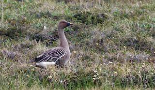 Tundra Bean-Goose, ML205142811